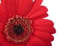 Gerbera flower Stock Photos