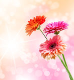 Gerbera flower Stock Photo