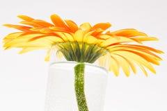 Gerbera flower. Yellow orange gerbera in vase on white background royalty free stock image