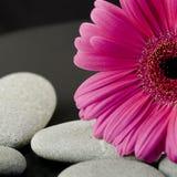 Gerbera flower Stock Image