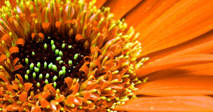 Free Gerbera Flower Stock Photos - 4911753