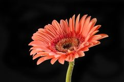 Gerbera flower against black. Pastel orange gerbera flower isolated against black Royalty Free Stock Photography