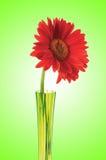 Gerbera flower against gradient Stock Photos