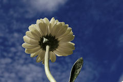 Gerbera fLower against sky. The ant point of view of a gerbera flower against the blue sky Royalty Free Stock Photo