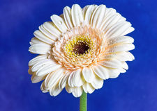 Gerbera flower. Asteraceae. Stock Photo