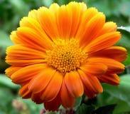 Gerbera, Flower, Asteraceae Stock Images
