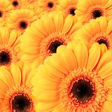 Gerbera flower background Stock Photos