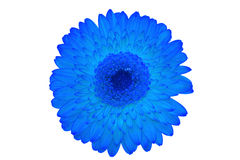 Gerbera flower background Royalty Free Stock Photos