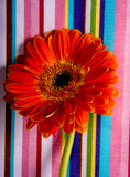 Gerbera. Flower on background with strips Royalty Free Stock Photos
