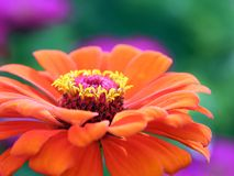 Gerbera, Flower, Blossom, Bloom Royalty Free Stock Photos