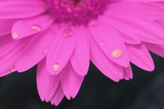 Gerbera flower blossom with water drops close up. Macro. Shallow depth of field. stock image