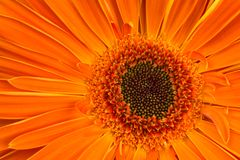 Gerbera flower Royalty Free Stock Photography