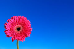 Gerbera flower in blue background Stock Photos