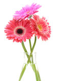 Gerbera flower bouquet isolated Stock Photography