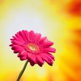Flower on sunny background Stock Image