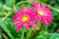 Gerbera flower chiangmai Thailand Royalty Free Stock Photo