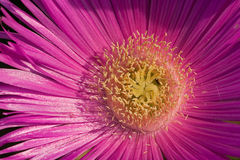 Gerbera flower close up Royalty Free Stock Photos