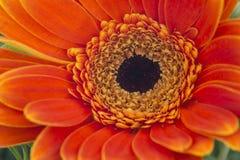 Gerbera flower close up Stock Images