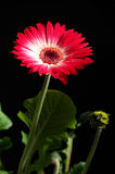 Gerbera flower close up Royalty Free Stock Photography