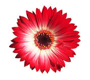 Gerbera flower close up Royalty Free Stock Photo