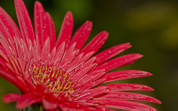 A gerbera flower Stock Photography