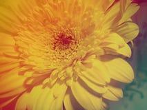 Gerbera flower close up Royalty Free Stock Photography
