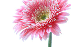 Gerbera flower closeup Stock Photography