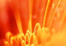 Gerbera flower closeup. Closeup shot of Gerbera flower. Orange toned picture Stock Photos