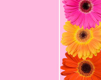 Gerbera flower collage Royalty Free Stock Photos