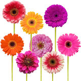Gerbera flower collage isolated Stock Photography