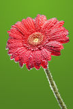 Gerbera flower covered with drops Stock Photos