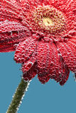 Gerbera flower covered with water drops Royalty Free Stock Image