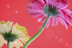 Gerbera flower. Decorative flowers Daisies on a red background stock images