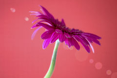 Gerbera flower. Decorative flowers Daisies on a red background stock photos