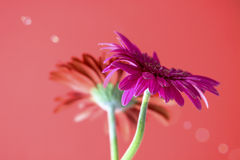 Gerbera flower. Decorative flowers Daisies on a red background stock image