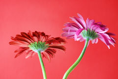 Gerbera flower. Decorative flowers Daisies on a red background royalty free stock images