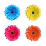 Gerbera flower in different colors Stock Image