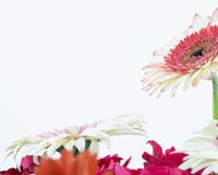 Gerbera flower. S isolated to background royalty free stock images