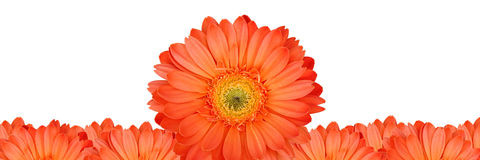 Gerbera flower frame Royalty Free Stock Image