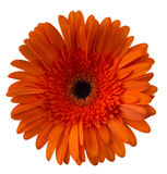 Gerbera flower Gerbera jamesonii orange. Gerbera flower Gerbera jamesoniio orange on a white background stock photography