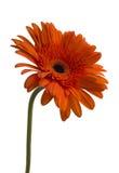 Gerbera flower Gerbera jamesonii orange. Gerbera flower Gerbera jamesoniio orange on a white background royalty free stock photography
