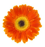Gerbera flower Gerbera jamesonii orange. Gerbera flower Gerbera jamesoniio orange on a white background stock image