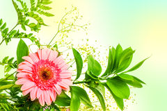Gerbera flower and green leaves Stock Photos