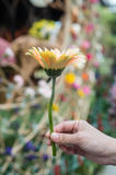 Gerbera flower in the hand Royalty Free Stock Images