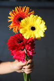 Gerbera flower in hand  decoration background design Royalty Free Stock Photo