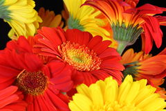 Gerbera flower heads closeup Stock Photo