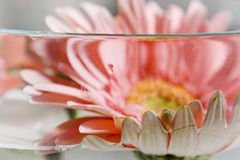 Gerbera flower inside water Stock Photos