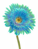Gerbera flower isolated Royalty Free Stock Photos