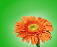 Gerbera flower isolated with clipping path. Orange daisy on ligh green background Stock Image