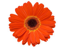 Gerbera flower isolated over white Royalty Free Stock Image